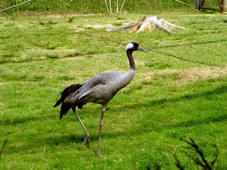 Kraniche - Vögel des Glücks!