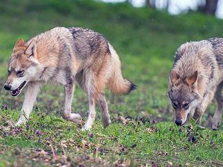 1,5 stündige Wolfstour im Naturreservat Warnow-Urstromtal