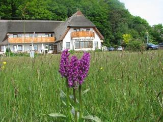 Frühling auf Rügen - Orchideenblüte...